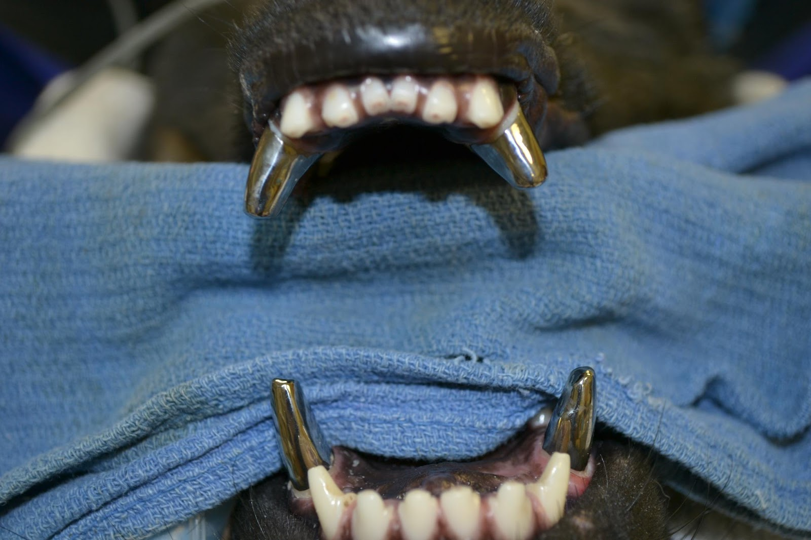 K9 german shepherd teeth