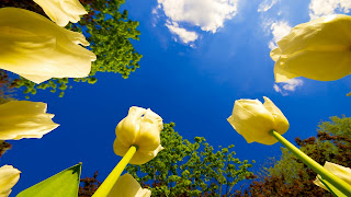 latest Yellow Budsto Bluesky Desktop background Wallpaper ajd 1920x1080.jpg