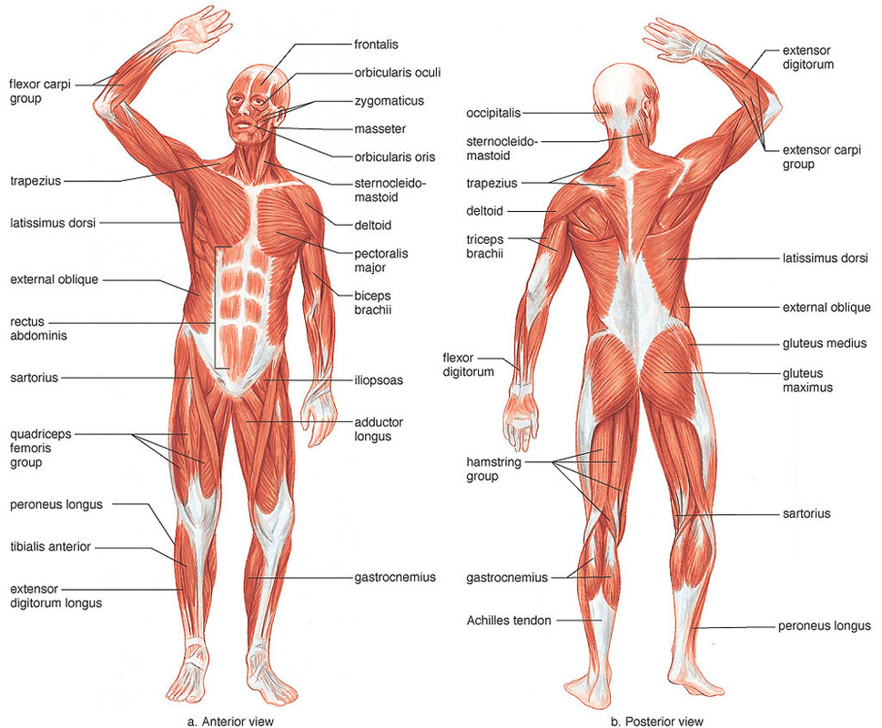 Muscle And Nerve Diagram Of The Human Body 50