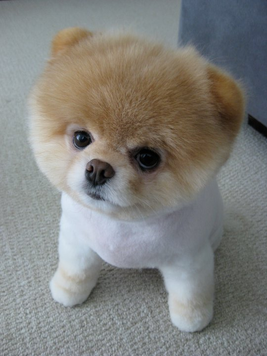Boo - The Cutest Pomeranian Dog In The World