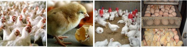 How to Start a Poultry Farm