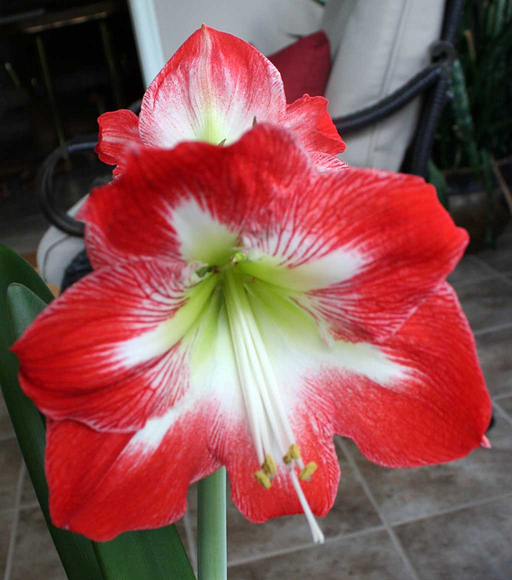 Poppular graphy Red Amaryllis Flowers