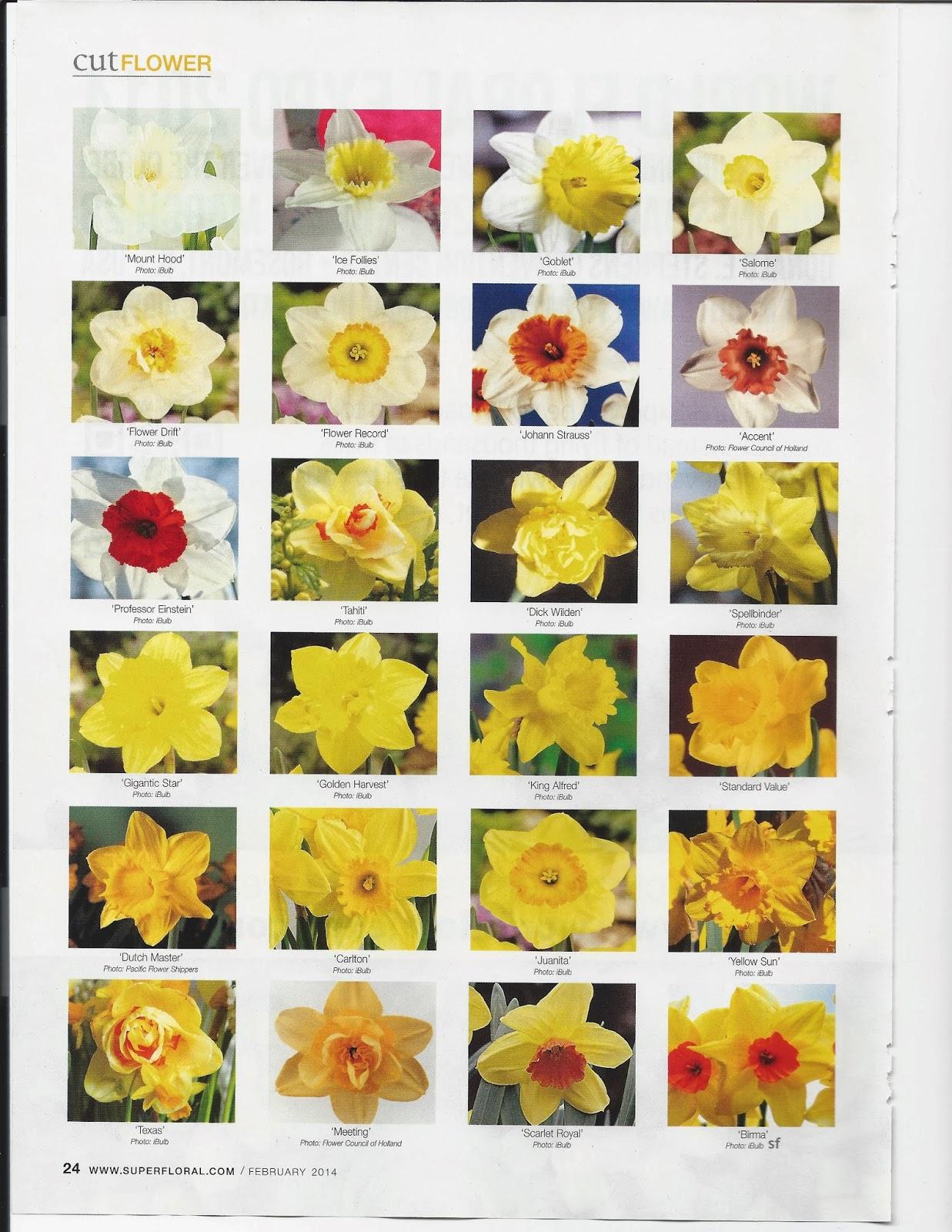 Flower classroom cut flower daffodil varieties care handling cut flower daffodil varieties care handling izmirmasajfo