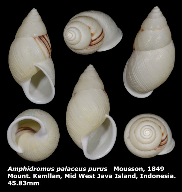 Amphidromus palaceus purus 45.83mm