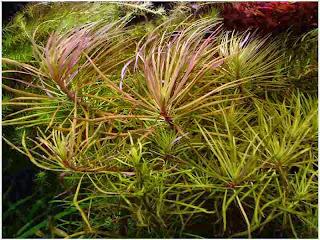 gambar-Pogostemon-Stellata-Eusteralis-Tanaman-Stem-Aquascape