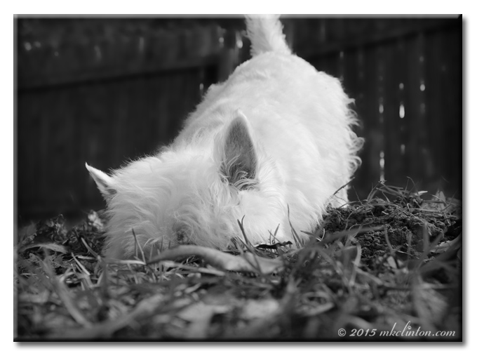 Pierre the Westie digging for a mole. B&W photo