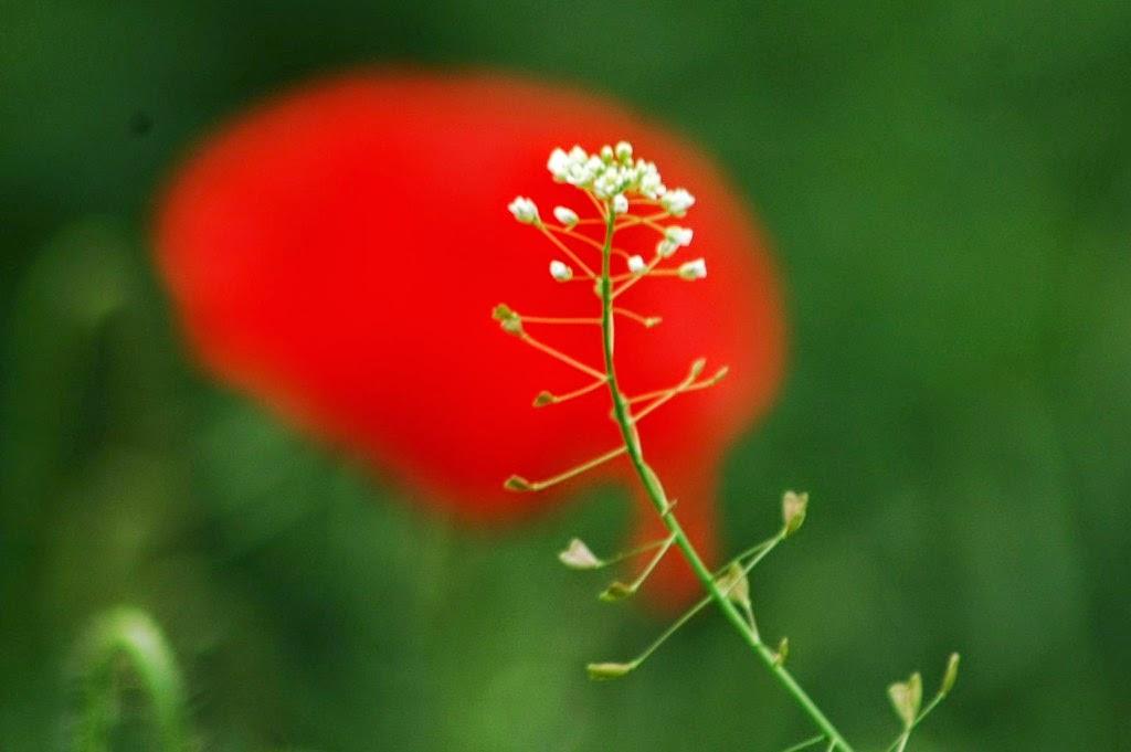 természet, virágok, vadvirágok, tavasz, pásztortáska