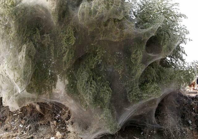 اشجار خيوط العنكبوت