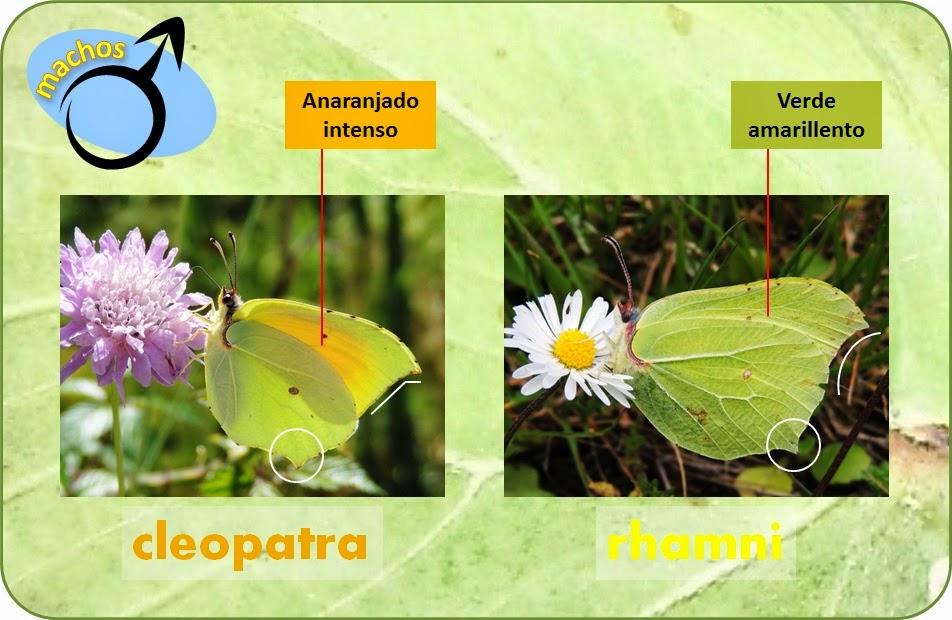 Diferencias entre machos de Gonepteryx rhamni y Gonepteryx cleopatra