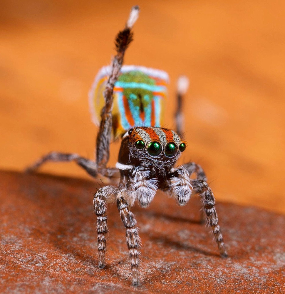 Peacock jumping spiders - photo#28