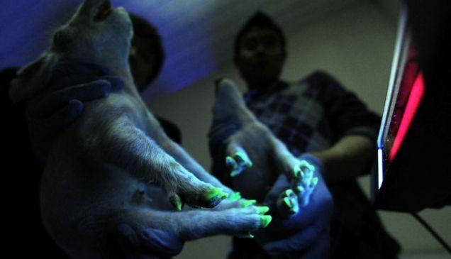 Saintis China cipta babi berkaki menyala dalam gelap