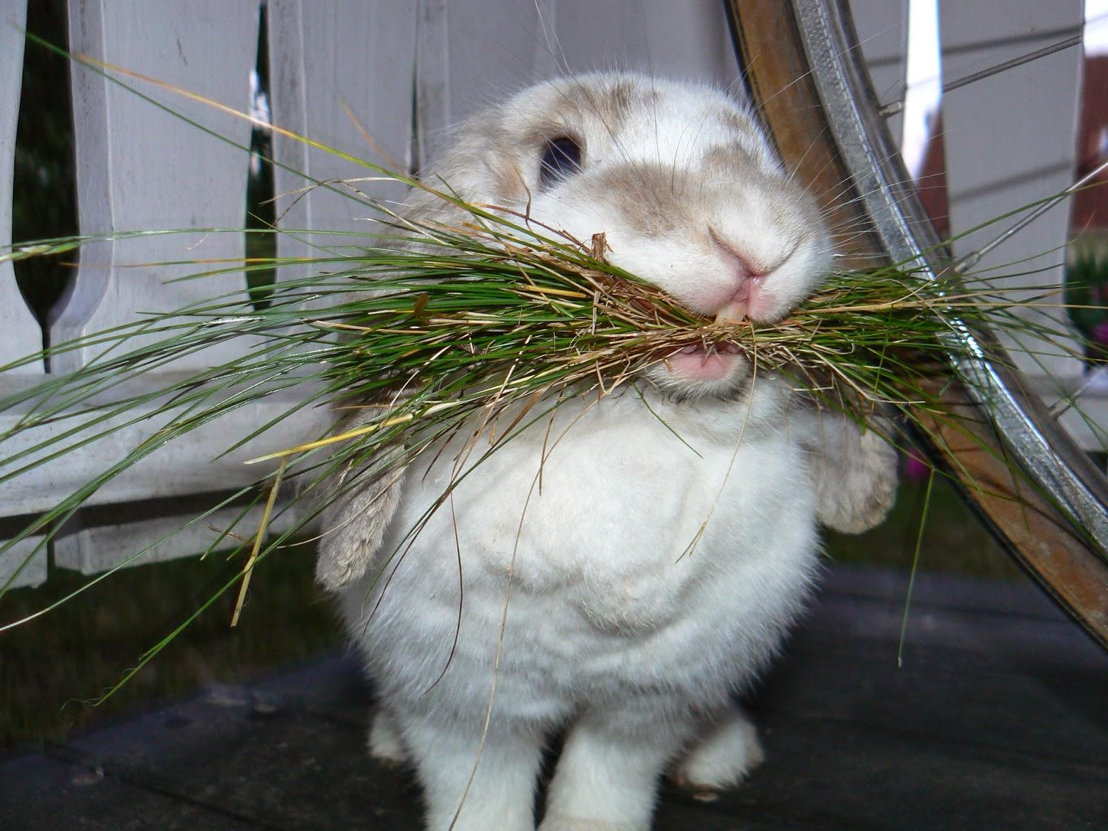 Стригучий лишай кроликів