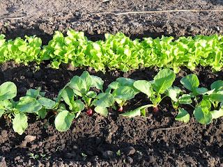 Редиска и салат в конце августа