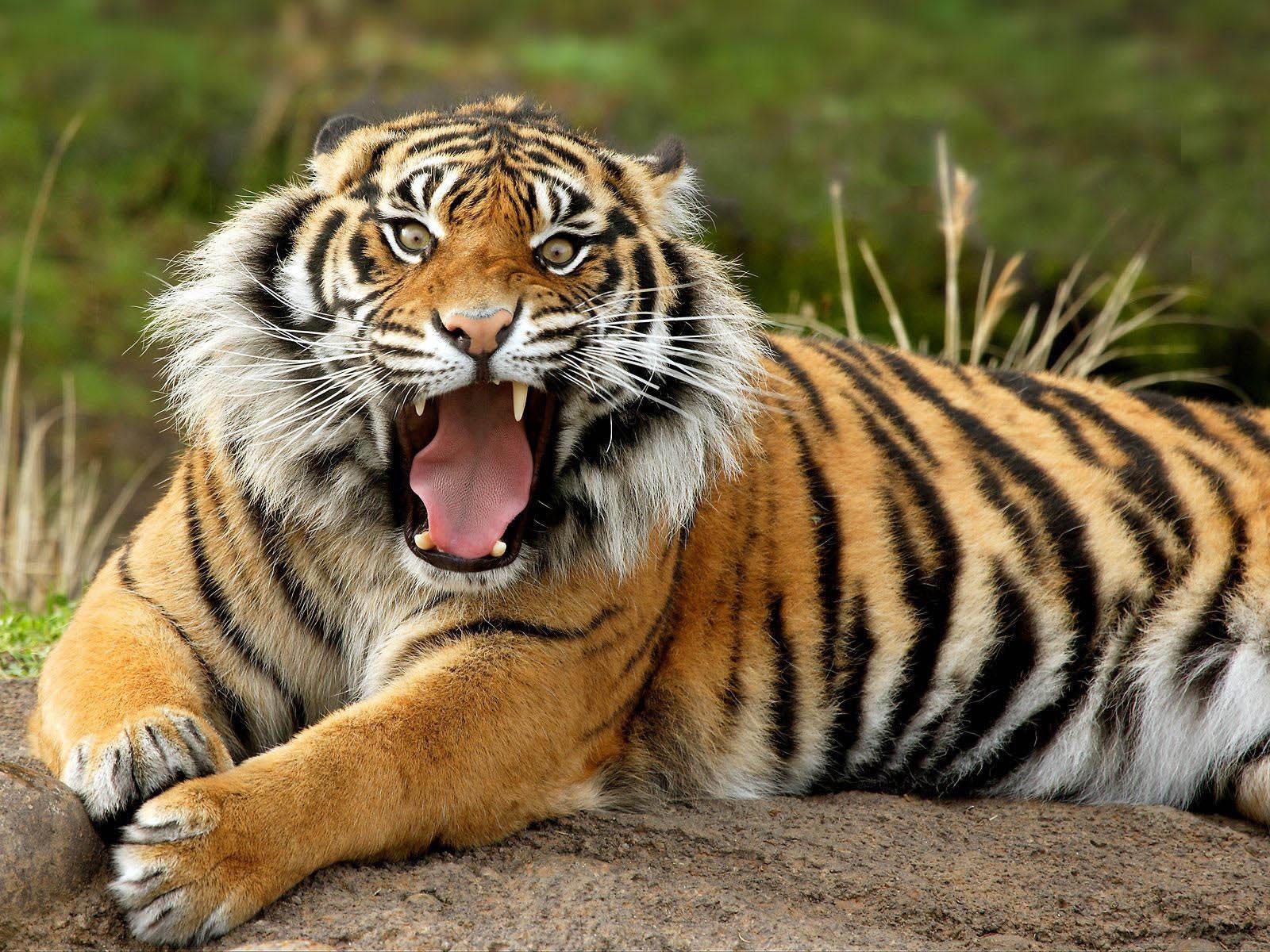 gambar harimau - gambar harimau terbesar