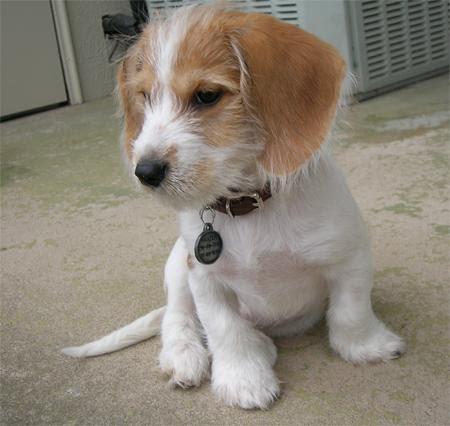 K Dog Strain Yorkie And Beagle Mix ...