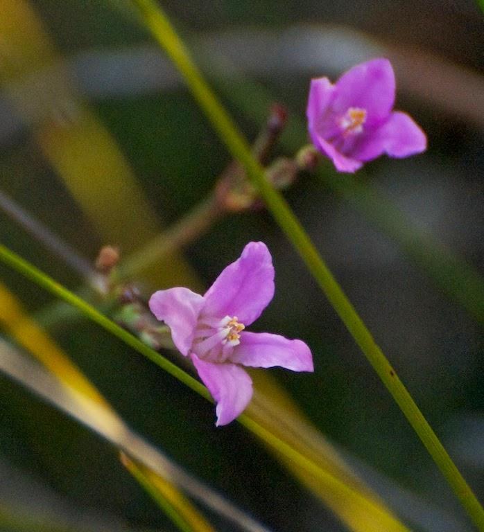Boronia spathulata