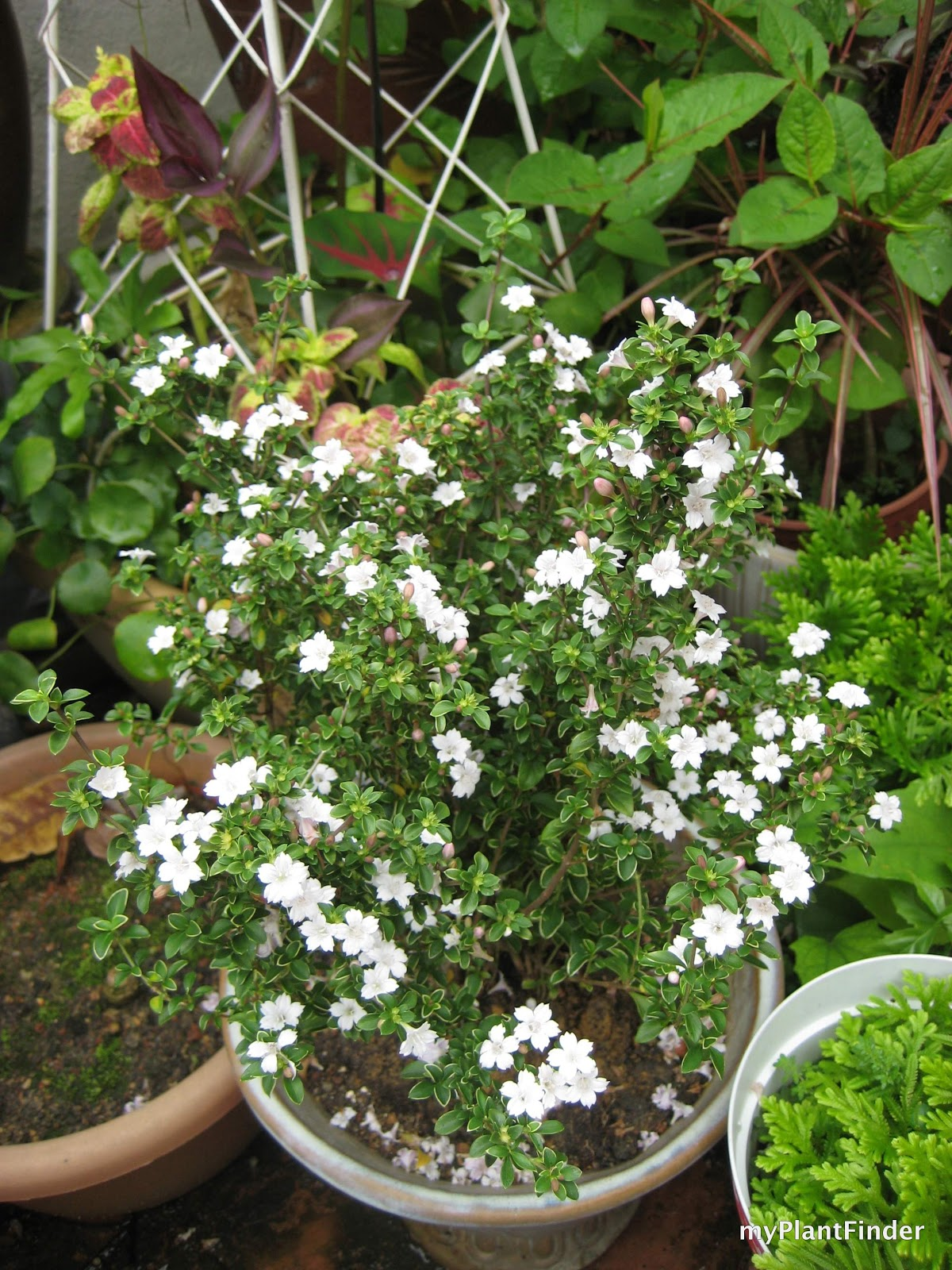Facebook Is Great For Sharing Pictures >> MY PLANT FINDER | Plant Guide: Serissa foetida