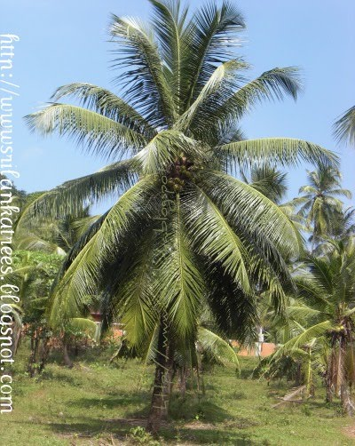 coconut tree in marathi