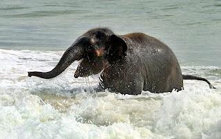 Felicidades, Jurásica !!! Cria+de+elefante+jugando+en+la+playa+6
