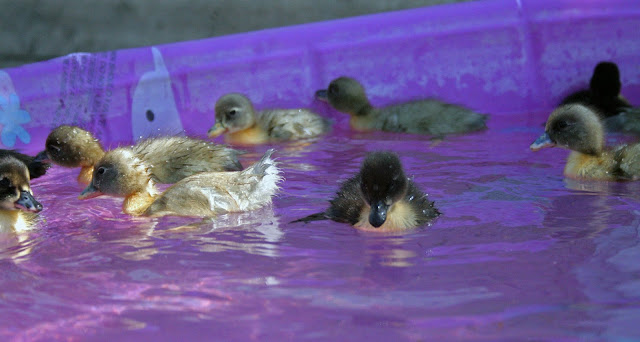 Baby ducks first swim in the pink pool