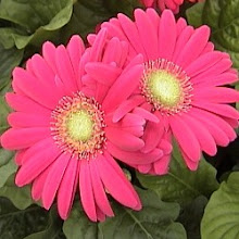 Gerbera Daisies for the Graduate!