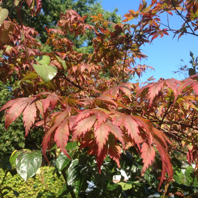 Maple leaves turning red with blue sky behind