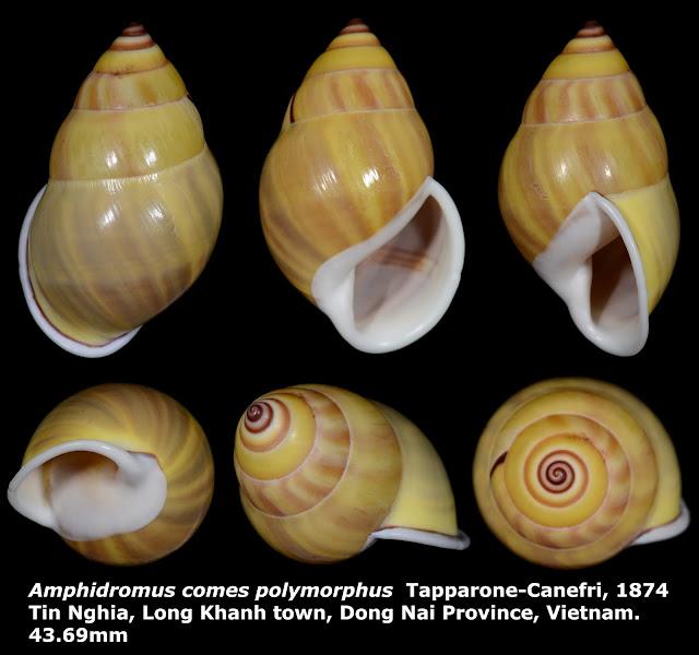 Amphidromus comes polymorphus 43.69mm