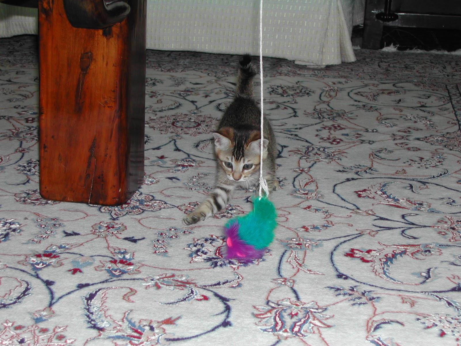 http://3.bp.blogspot.com/-t2ZiCTXDGWg/TVkyeHuQMOI/AAAAAAAAAVY/9W2lFxqahmw/s1600/Tai+Tai+as+a+kitten.jpg