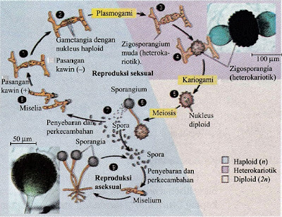 Siklus Reproduksi Rhizopus