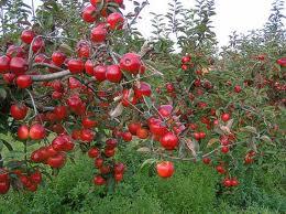 Budidaya, Apel, Dengan, Teknik, Potong, Akar, Budidaya apel