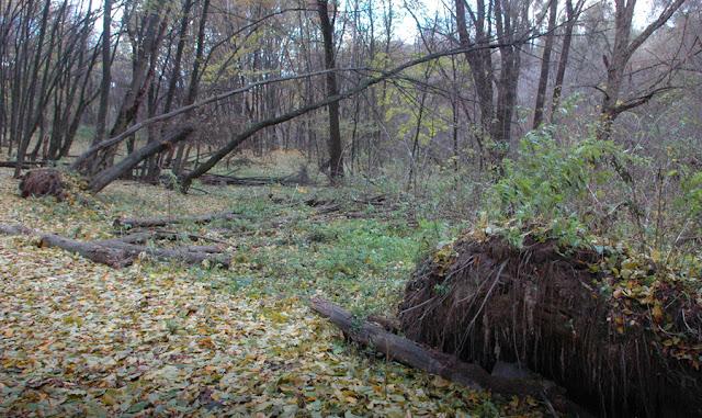 Фото Виталия Бабенко:поваленные деревья в Голосеево