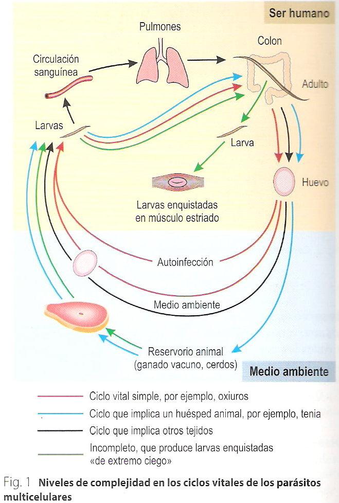 La dimensión de las lombrices en el organismo de la persona