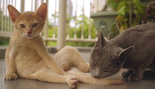 Abyssinian Cat Colors