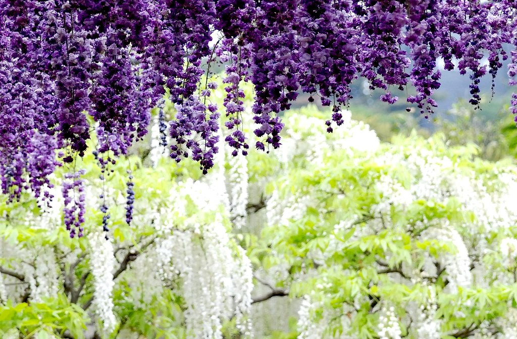 Haute Finds: Wisteria Tunnel: hautefinds.blogspot.com/2012/04/wisteria-tunnel.html