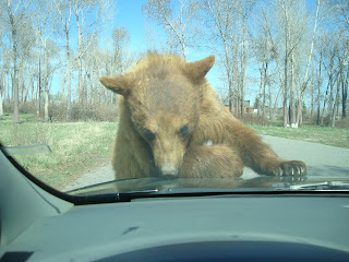 Brown bear at bear world
