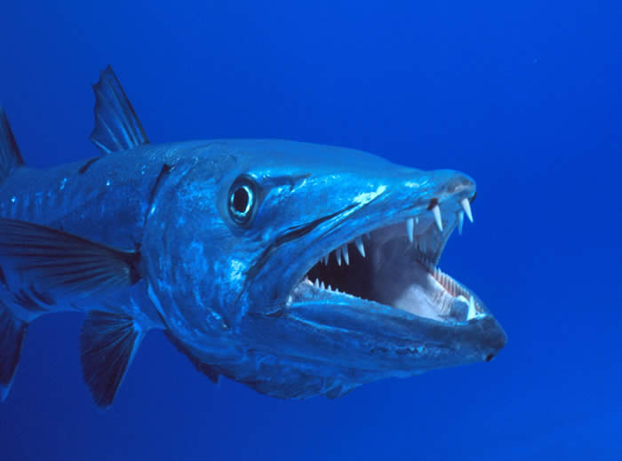 barracuda the tiger of the sea facts about all