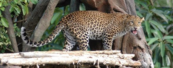 Leopard Package Bali Safari And Marine Park - Bali, Zoo park, Tourism Object, Program, Recreation