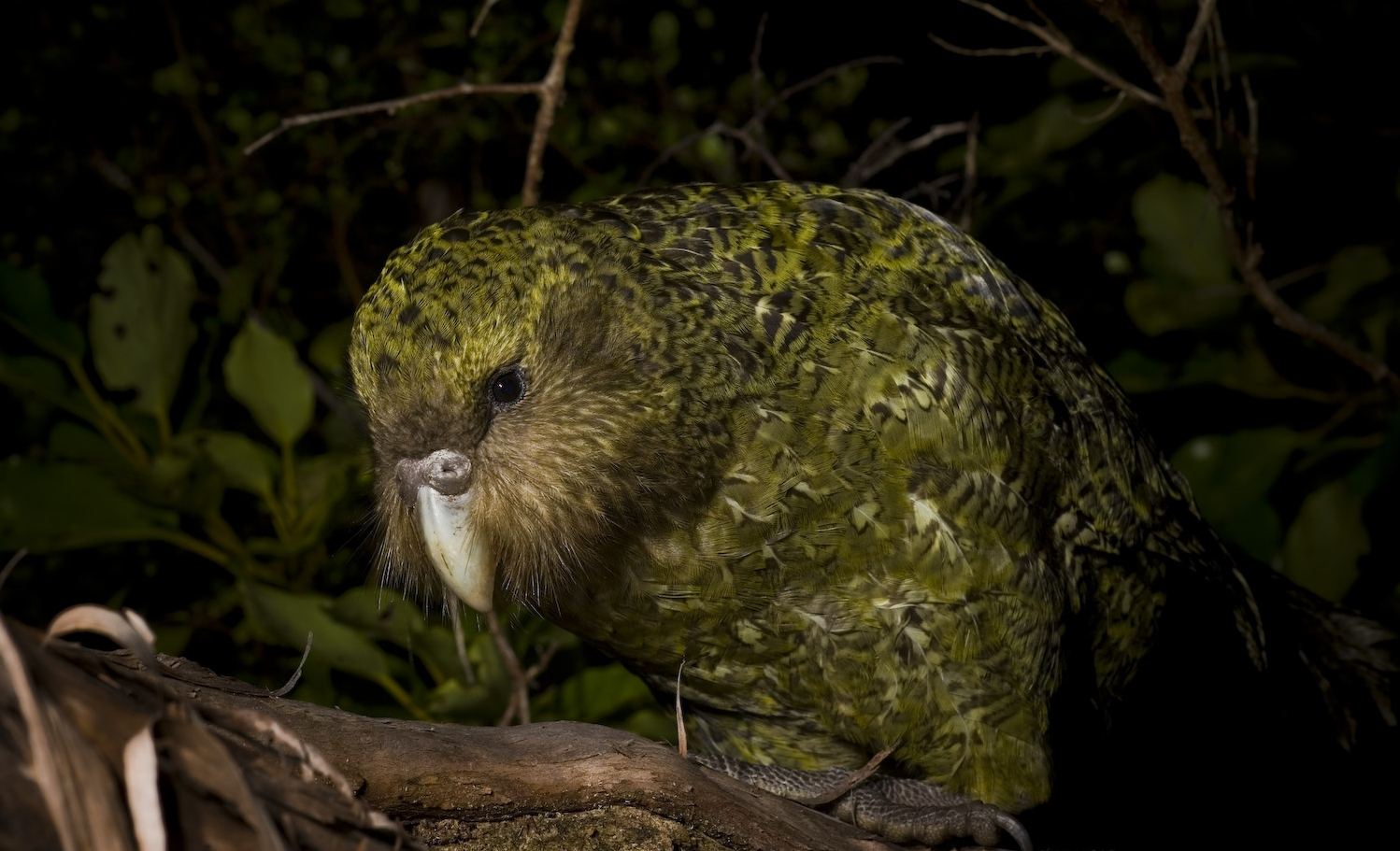 Kakapo Wallpaper Natures Mighty Picture...