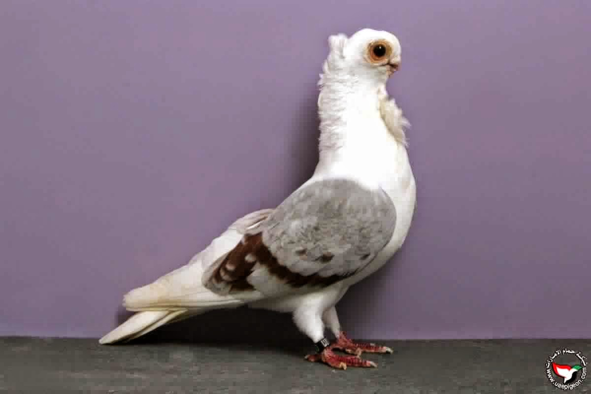صور حمام أجمل صور أنواع الحمام Pigeons Photos