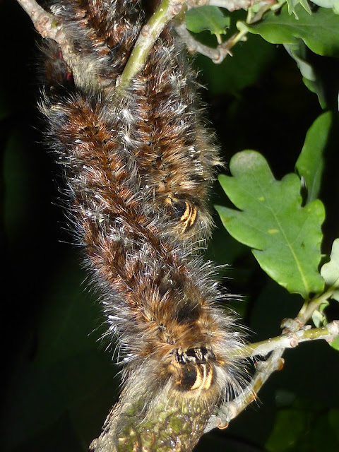Unidentified Lasiocampid caterpillar