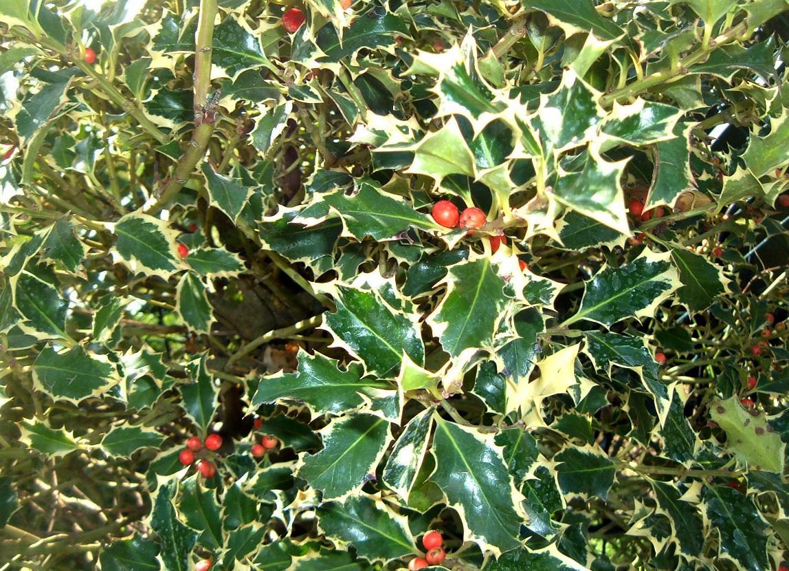 Agrifoglio O Ilex Aquifolium, Arbusto Sempreverde Con Foglie A Margine  Seghettato E Pungenti. Producono Bacche Invernali Molto Decorative, Solo Se  Avete Sia ...