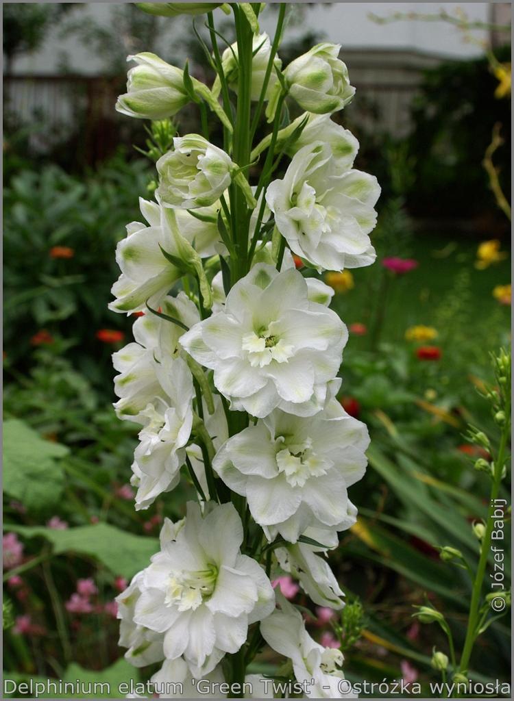 Delphinium elatum 'Green Twist'  inflorescence  - Ostróżka wyniosła 'Green Twist'    kwiatostan