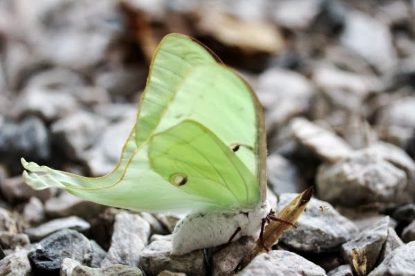 Gorgeous white moth with mint wings ~ Photo by ChatterBlossom #moth #nature