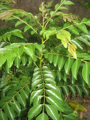daun kari,khasiat daun kari