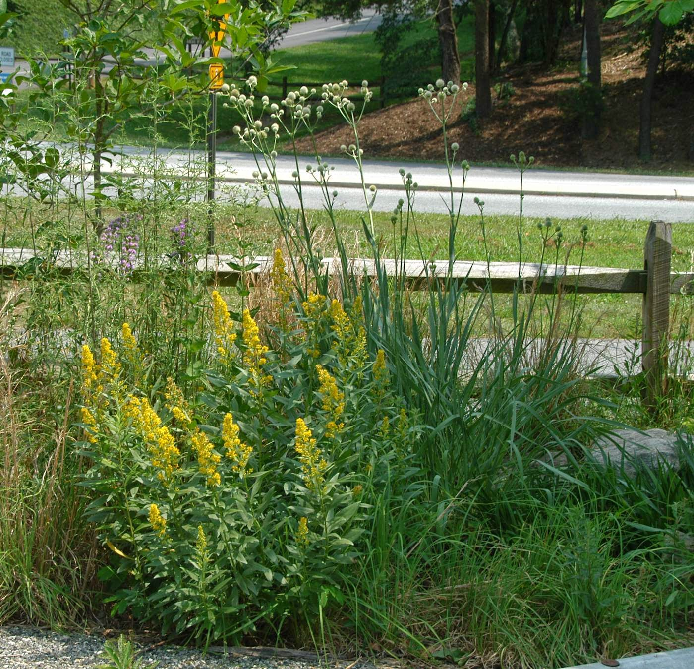 Some suggested rain garden plants