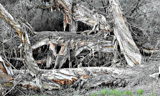 The paperbark trees are said to be 200 years old. They've been meditating in the Australian outback for a while.