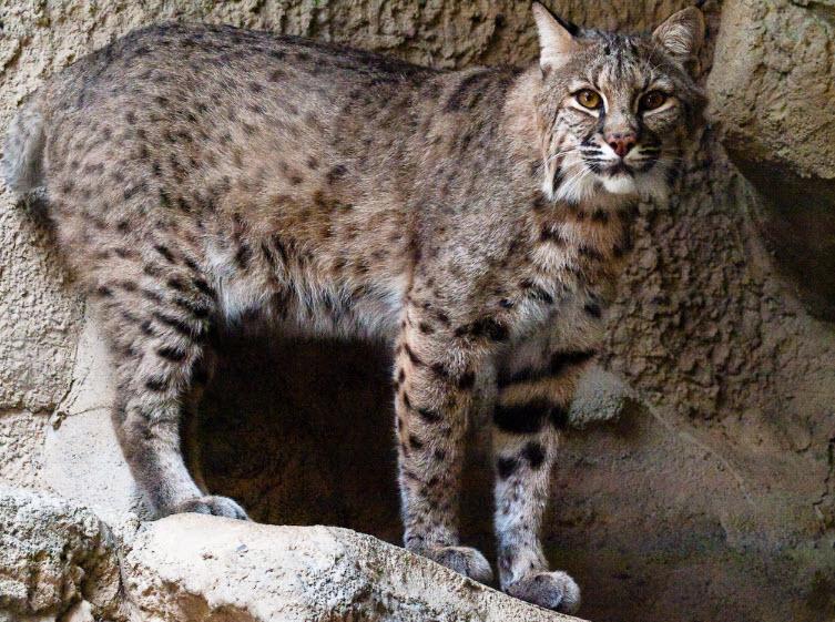 Bobcat animal