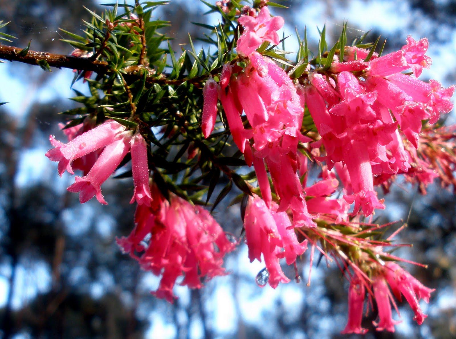 Jumping Aground Common Heath Aka Pretty Pink Flowers
