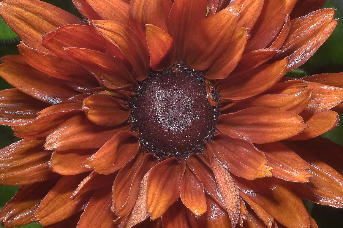 flowers for flower lovers.: Brown flowers pictures.