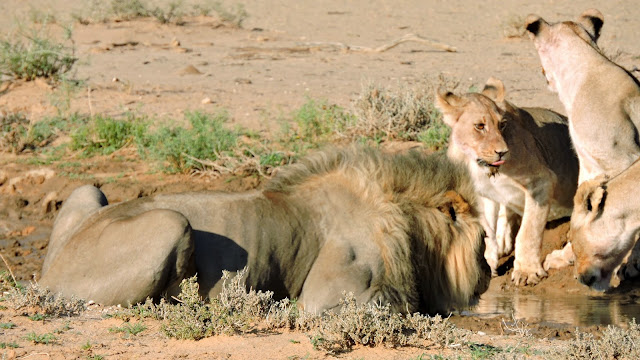 Lions in the Kgalagadi Transfrontier Park